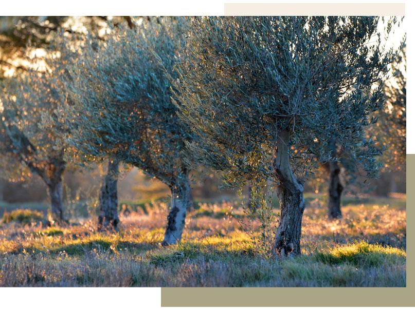 oliviers dans le Domaine de LEOS en Provence