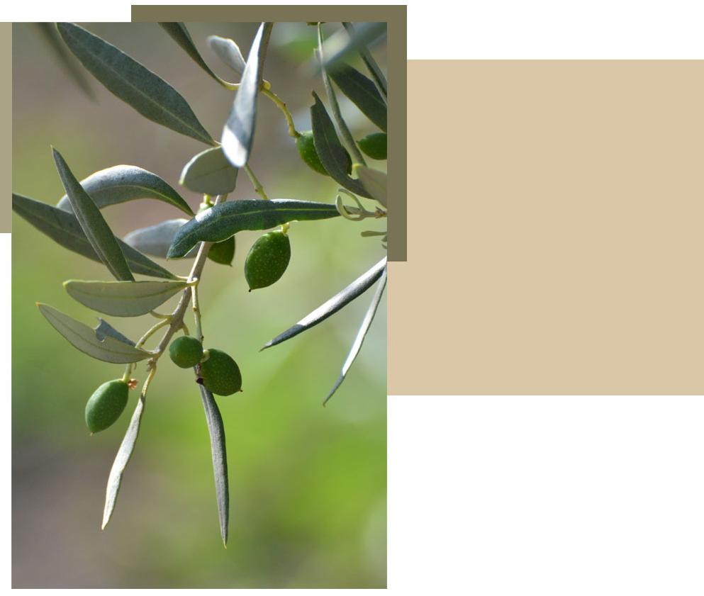 olive pour faire de l'huile d'olive vierge extra