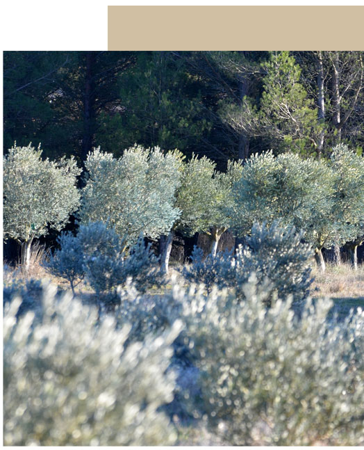 champ olivier provence