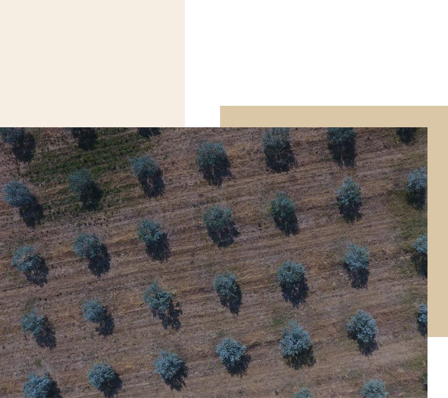 champ olivier provence vue du ciel